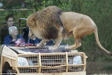lioncage1