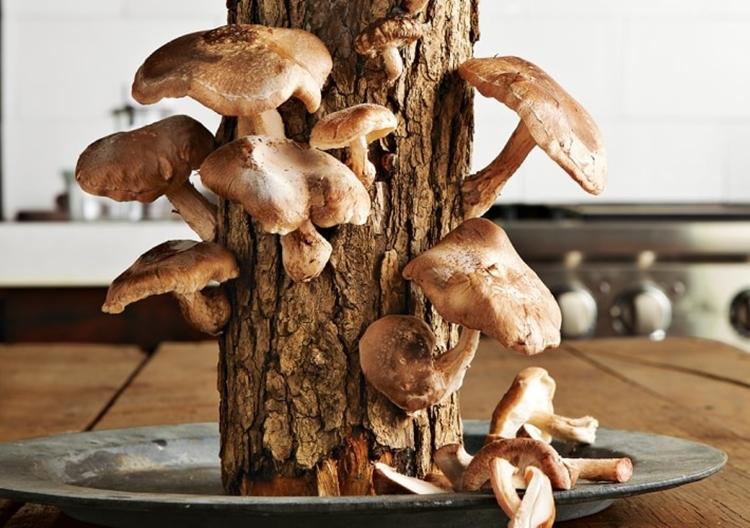 shiitake-mushroom-log-2