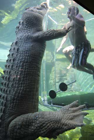 crocodile_swimming