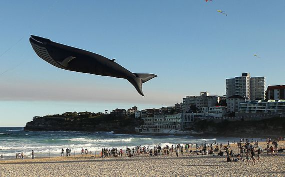 A Life Sized Realistic Looking Blue Whale Kite