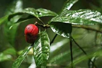 blushwood-tree-1